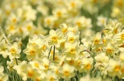 Daffodilsbig