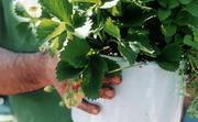 Strawberrypotwhands6001