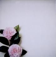 Camellia_2